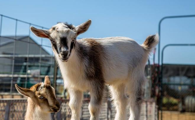 GH goat kids